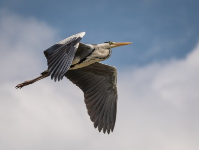 Grey Heron over Kenya by Dave DeVore