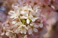 April 2013 London cherry blossom, Isle of Dogs, London