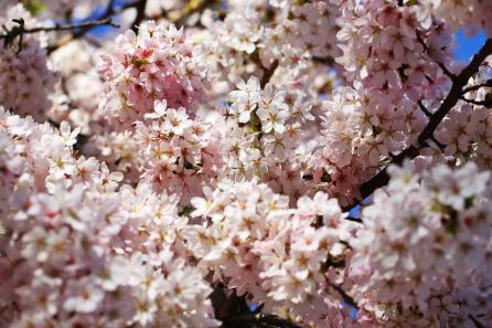 April 2013 London cherry blossom, Isle of Dogs, London