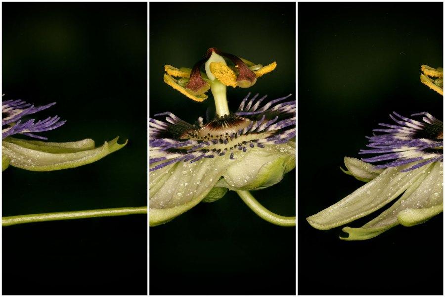 June 2013 Passion Flower, Mudchute, London, UK