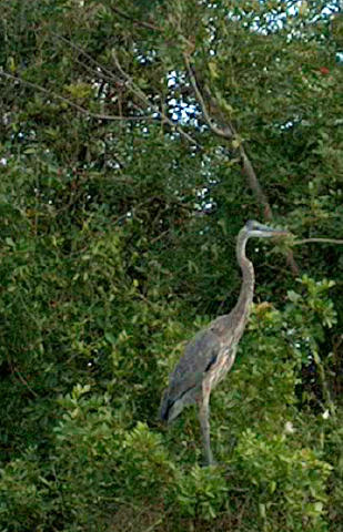 heron southwest Florida naplesbonitamarco.com | photo by: Patricia Gill saidthespider.net