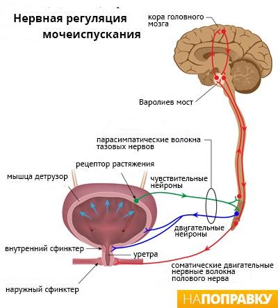 erecție cu urolitiază
