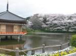 安倍文殊院桜