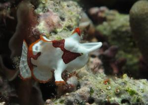 Diving Philippines - Baby Frogfish - Moalboal