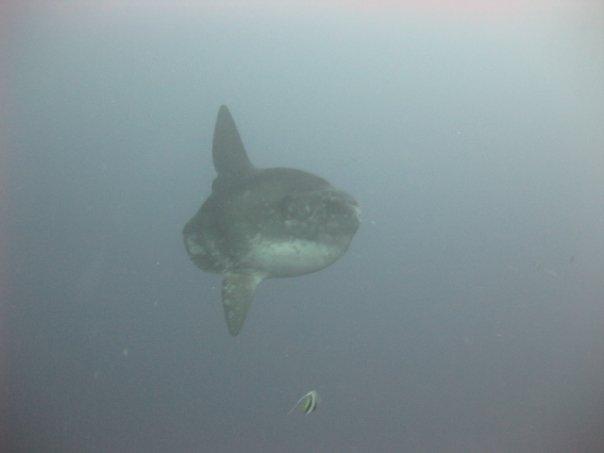 Diving Indonesia - Mola Mola - Nusa Lembongan