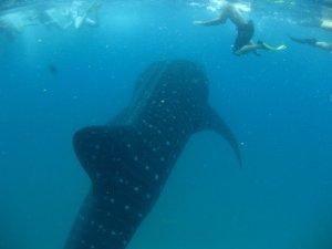 Diving Africa - Whaleshark in Vilanculos