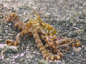 Diving Indonesia - Lembeh Straits - Wonderpuss