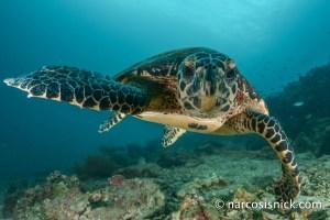 Narcosis Nick - Turtle