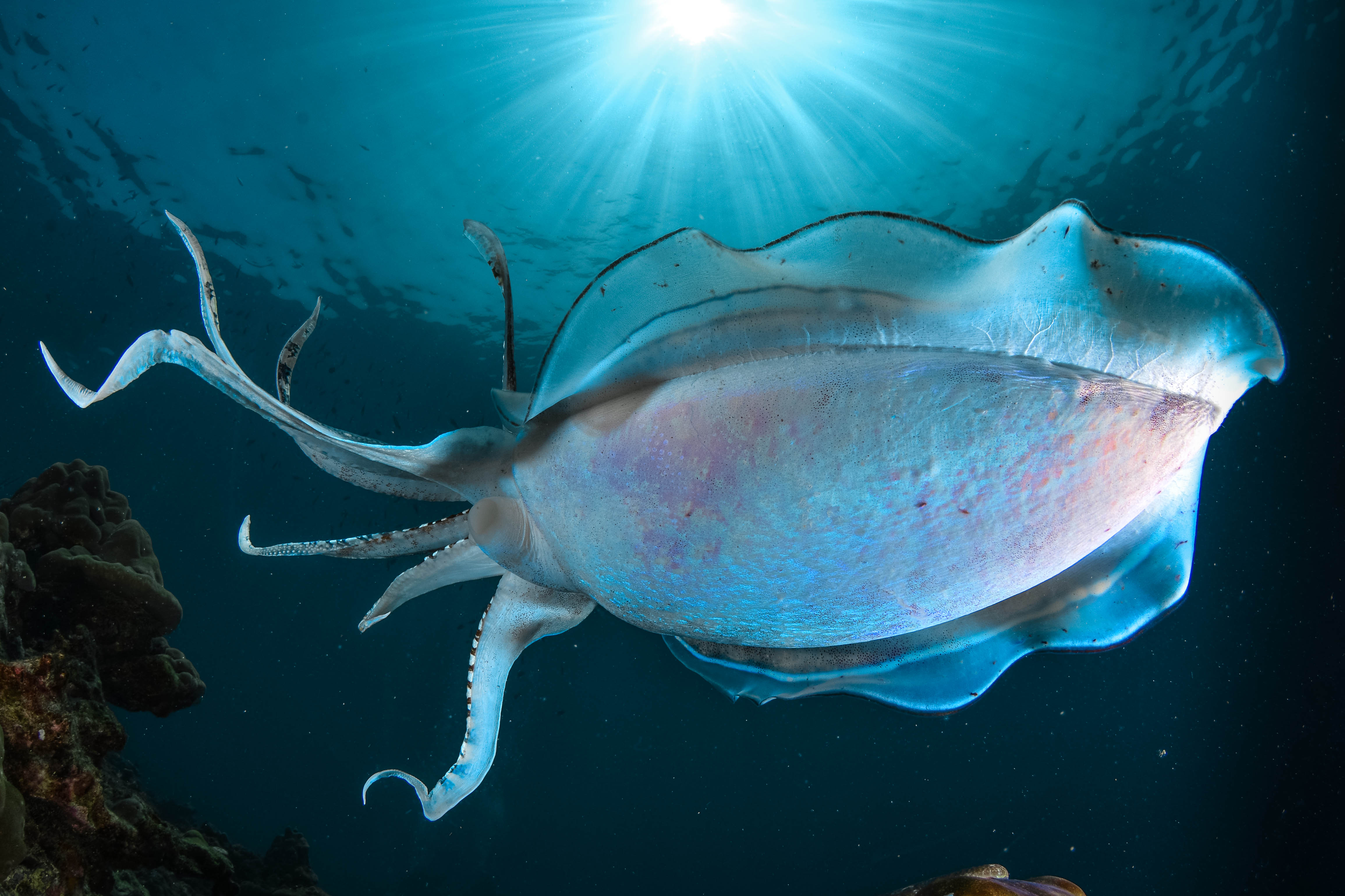 Underwater Photography Courses - Cuttlefish