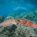 Choosing an Underwater Camera - Mating Cuttlefish