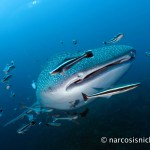Choosing an Underwater Camera - G15 - Wideangle - Whaleshark