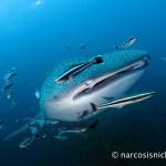 Choosing an Underwater Camera - G15 - Wideangle - Whaleshark