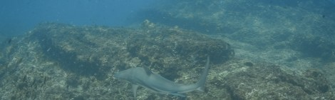 Back in the water - Black tips sharks