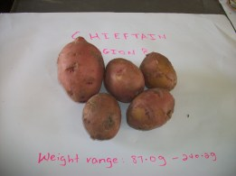 Irish potato (Chieftain variety) grown in open field Region 8