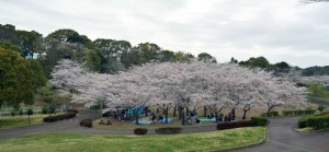 中台運動公園の桜
