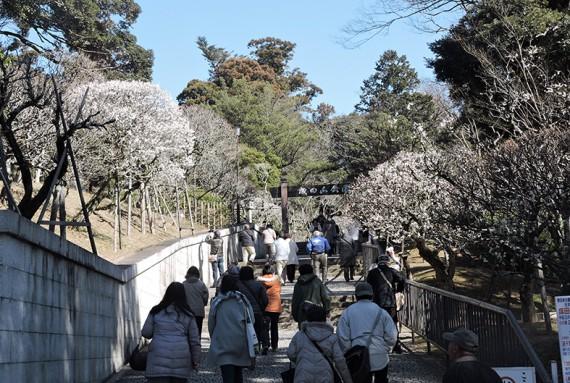 大本堂右の成田山公園入口脇の白梅が見事です♪