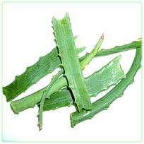 Листки алоэ, народным средством из сока алоэ можно навсегда вылечить язву 12 перстной кишки