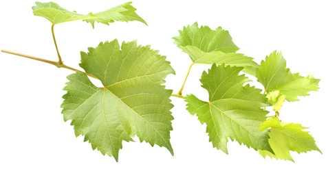 frunzele de struguri cu varicoză