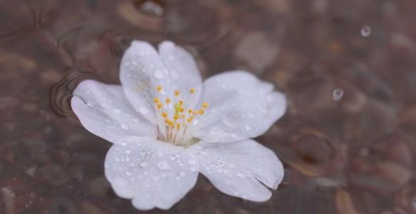 No,127 Photo📷 「雨の中のさくら🌸」