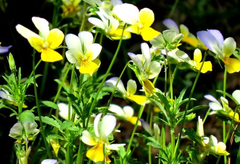 Tatlong kulay na lila: natatanging mga katangian ng