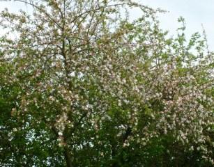 Grab-Apple blossom 1