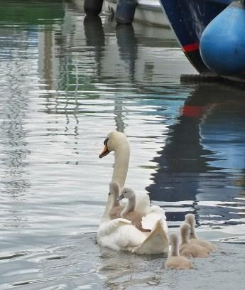 Swans piggyback