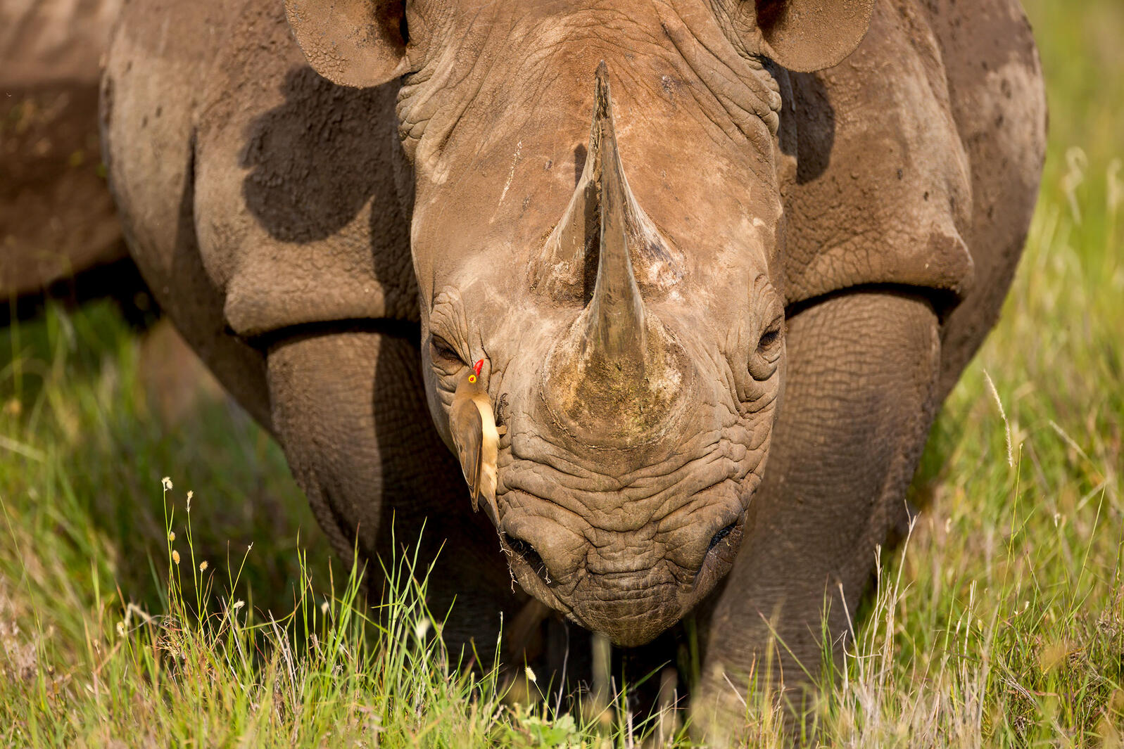 These Birds Protect Black Rhinos From Poachers (but Also Drink Their Blood)