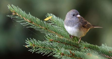Dark-eyed Junco | Audubon Field Guide