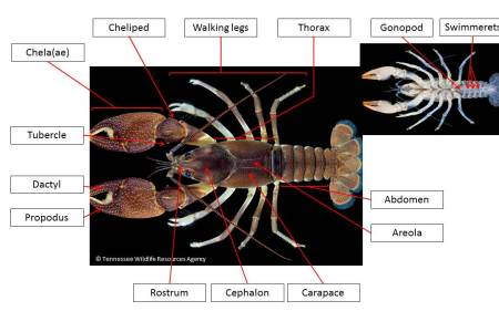 interior internal crayfish anatomy abdomen » Full HD MAPS Locations ...