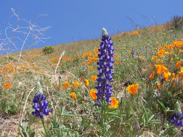 Bakersfield Wildflowers Credit Chris Huot (42)