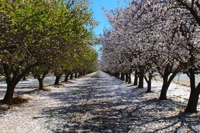 Blooming Almond Trees Credit Visit Bakersfield (12)