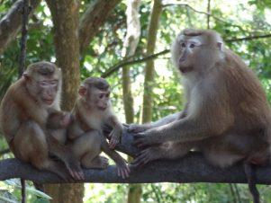 Affen-Phuket