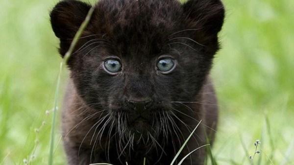 В китайском зоопарке родился черный тигр 30 Августа 2014