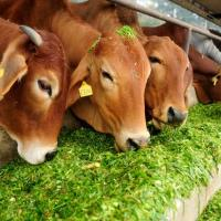 Karnataka mulls scrapping cattle protection panel constituted by BJP government