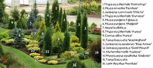 хвойники в саду и их дизайн фото название и уход за ними 1