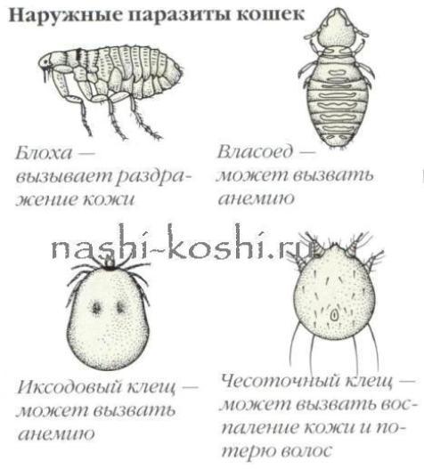 Кожные заболевания у кошек. Кожные паразиты. | Все о кошках