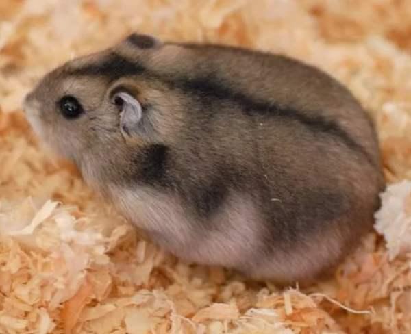 Виды хомяков – домашних питомцев - Наши Кролики