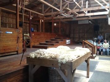 Nashville fun for families - Kentucky down under - sheep shearing - cow milking