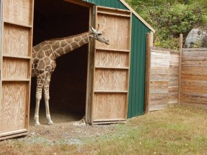 Harmony Safari Park - Giraffe
