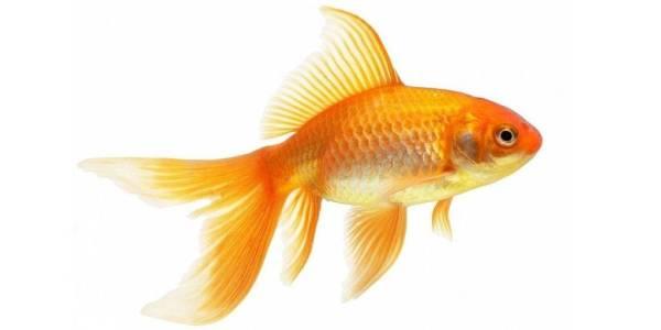 Золотая рыбка – описание, виды и породы, чем кормить, фото ...