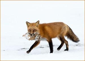 Joe Senzatimore - Fox 1 Rabbit 0 - Ist Place - A Color