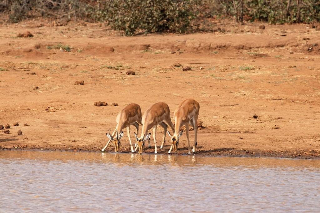 nyala - kruger national park - tour sudafrica
