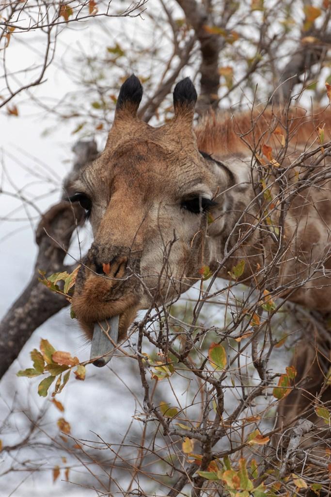 giraffa-Parco-Kruger