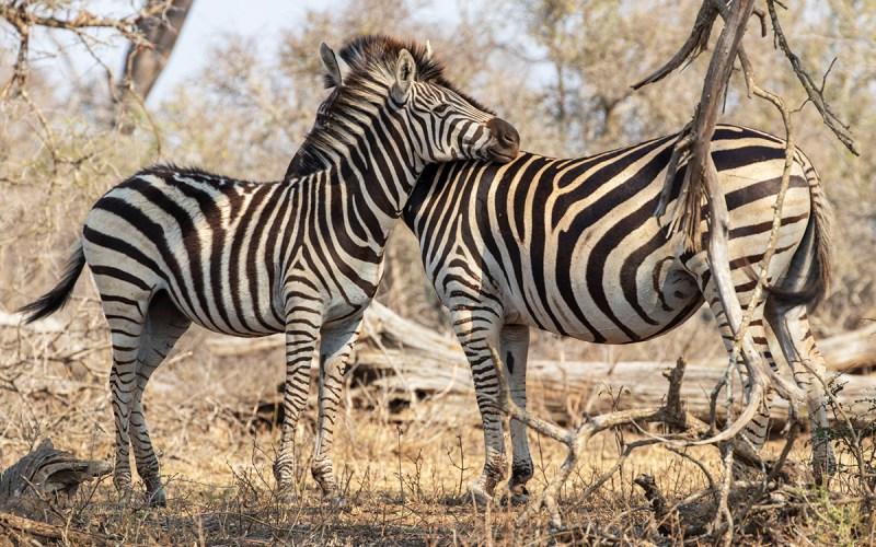 Zebre-Parco-Kruger