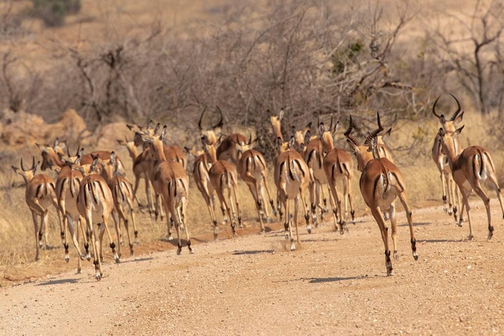 Impala-Parco-Kruger
