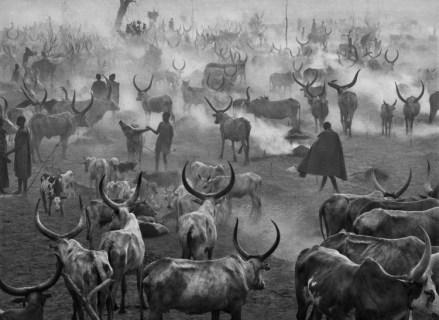 Sur de Sudán, 2006 | Rebaño de ganado de Dinka. Los Dinka seleccionan a los mejores toros y los identifican dándole una forma particular a sus cuernos durante el crecimiento.