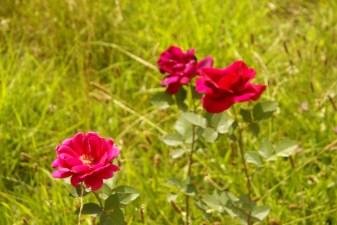 Algunas destacan mas que otras._ Sobresalen por su único y encantador color y le dan vida al verde del pasto.