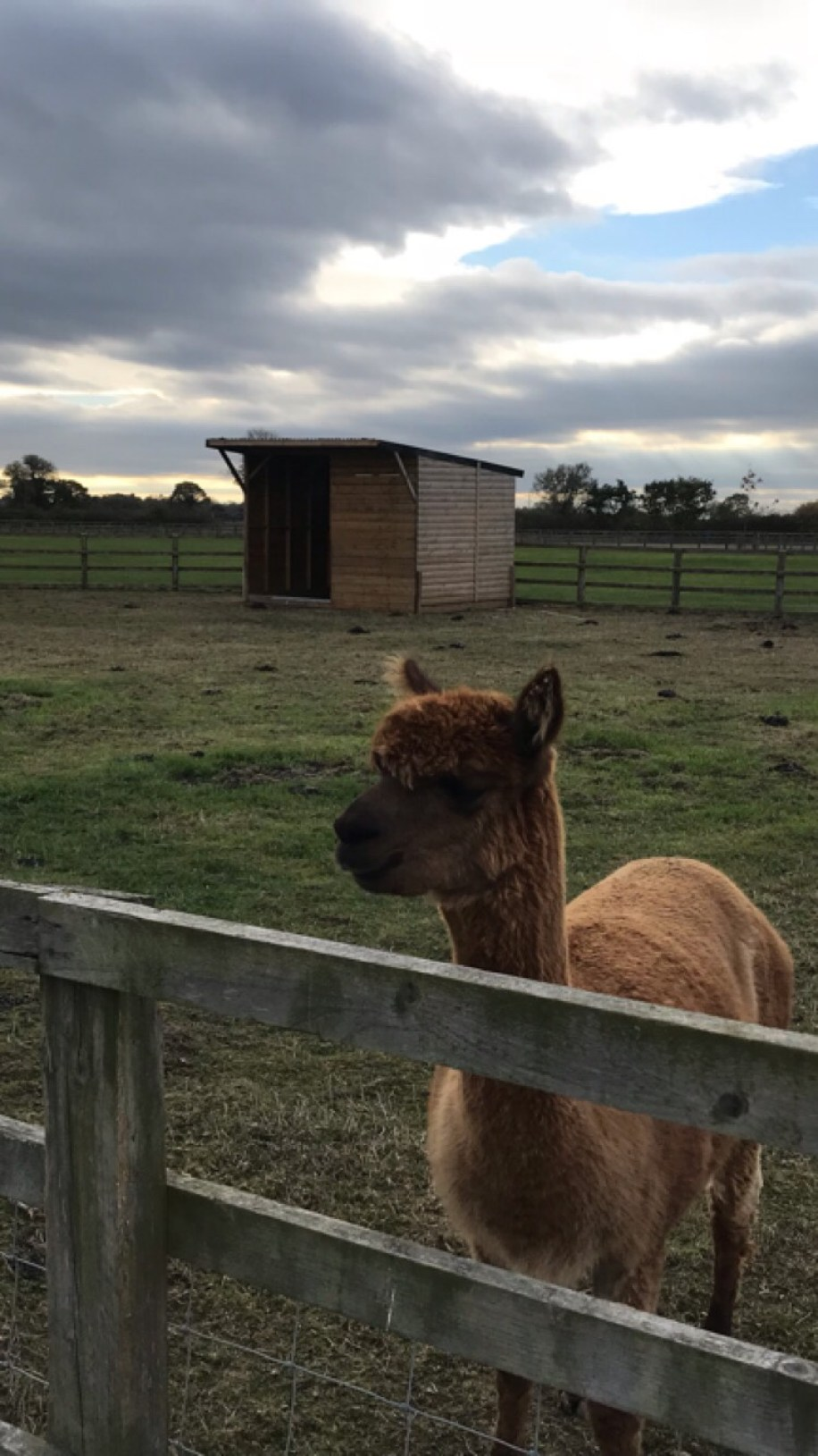 llama at the farm