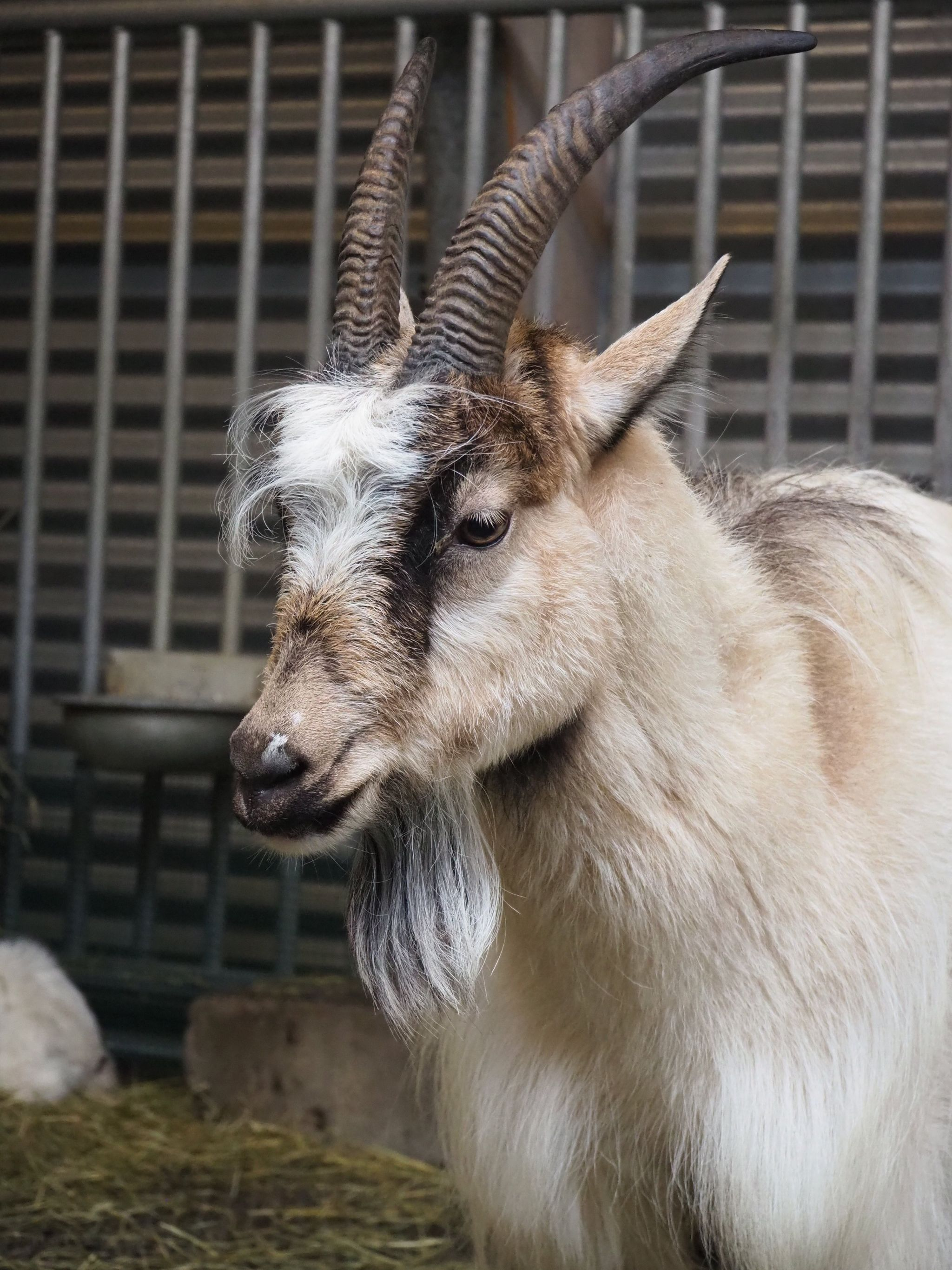 portrait of an adult goat