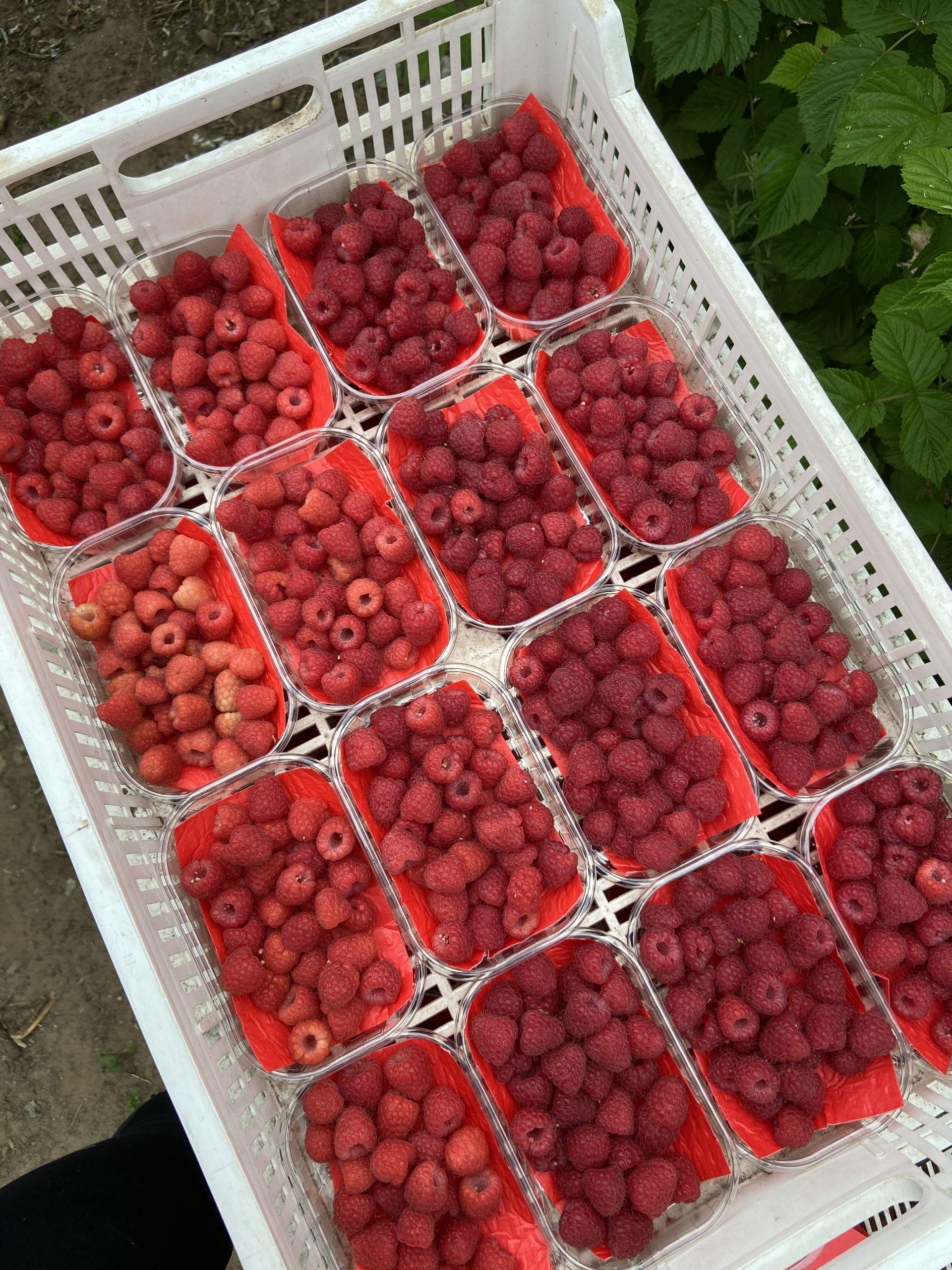 Raspberry Tray